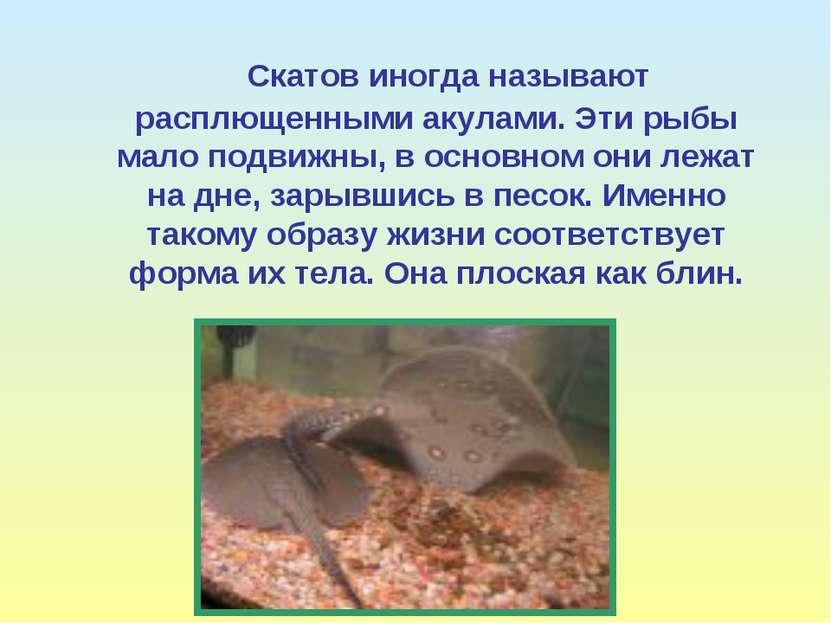 Скатов иногда называют расплющенными акулами. Эти рыбы мало подвижны, в основ...
