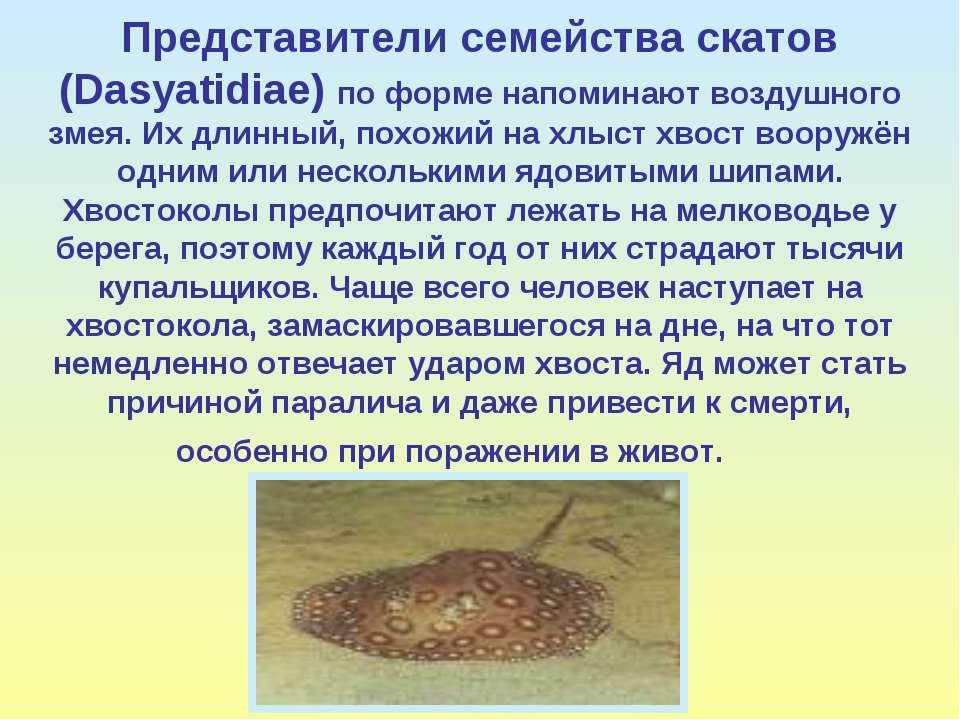 Представители семейства скатов (Dasyatidiae) по форме напоминают воздушного з...
