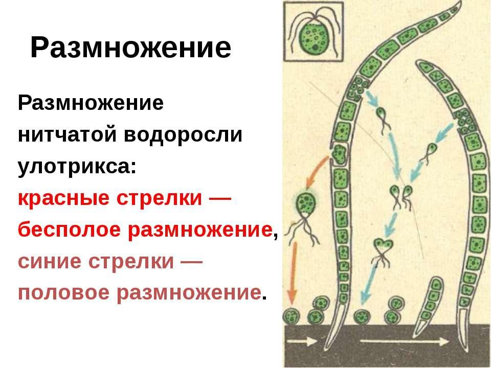Размножение Размножение нитчатой водоросли улотрикса: красные стрелки — беспо...