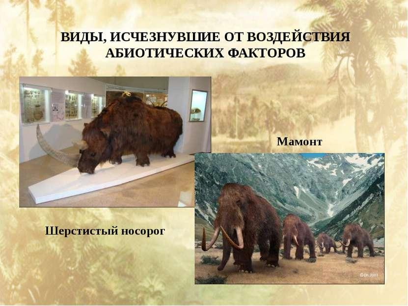 ВИДЫ, ИСЧЕЗНУВШИЕ ОТ ВОЗДЕЙСТВИЯ АБИОТИЧЕСКИХ ФАКТОРОВ Шерстистый носорог Мамонт