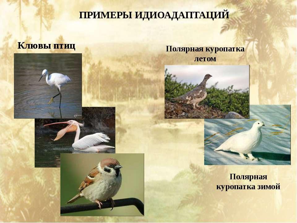 ПРИМЕРЫ ИДИОАДАПТАЦИЙ Клювы птиц Полярная куропатка летом Полярная куропатка ...