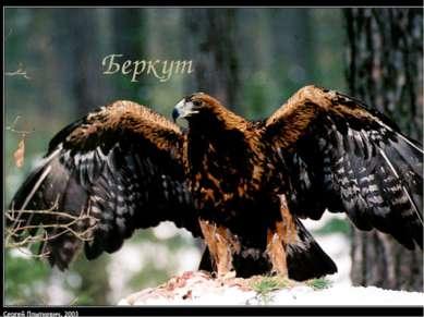 Беркут