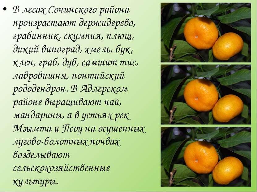 В лесах Сочинского района произрастают держидерево, грабинник, скумпия, плющ,...