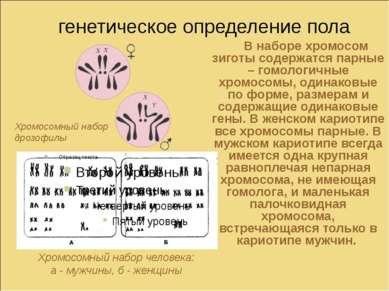 генетическое определение пола В наборе хромосом зиготы содержатся парные – го...