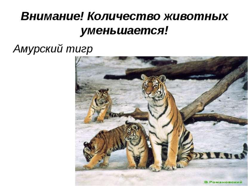 Внимание! Количество животных уменьшается! Амурский тигр