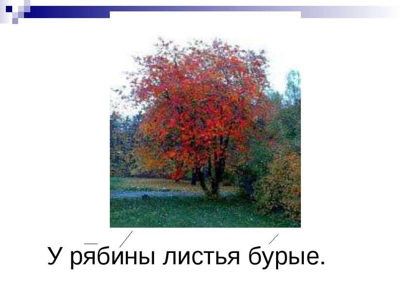 У рябины листья бурые.