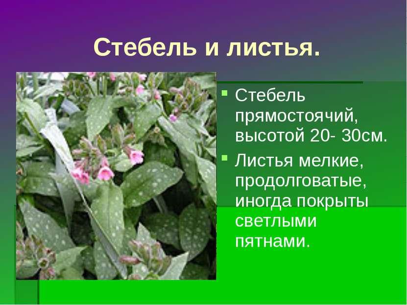 Стебель и листья. Стебель прямостоячий, высотой 20- 30см. Листья мелкие, прод...