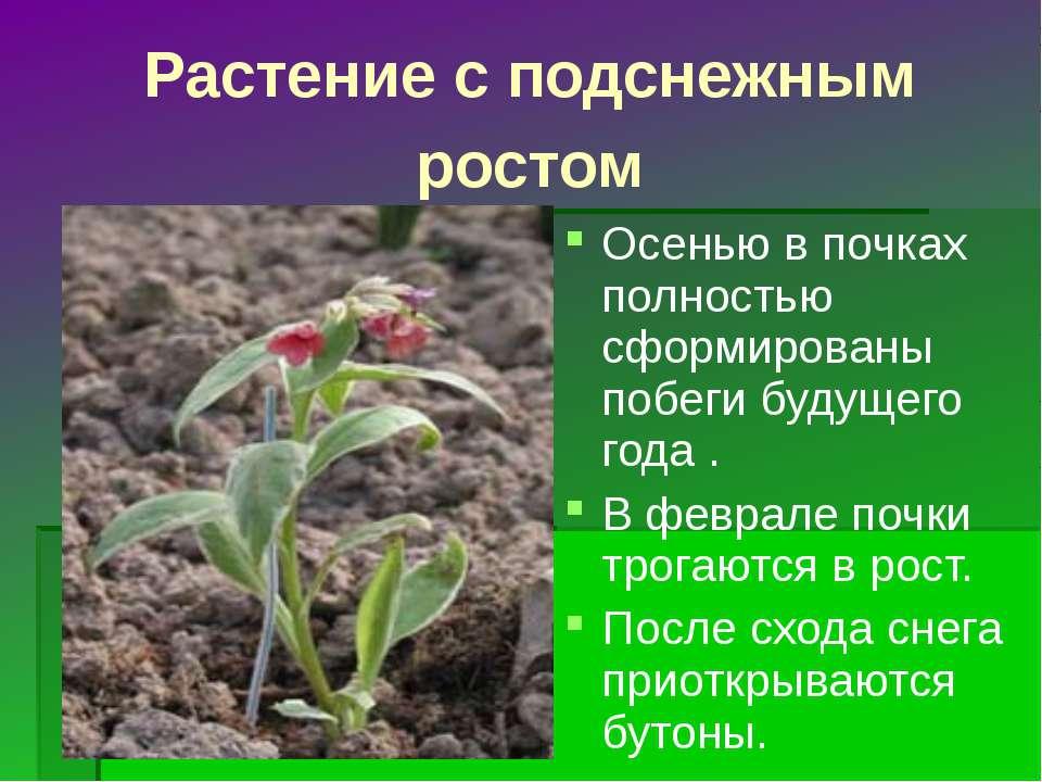 Растение с подснежным ростом Осенью в почках полностью сформированы побеги бу...