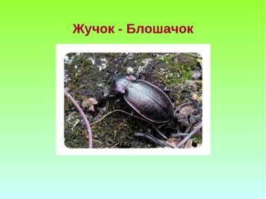 Жучок - Блошачок