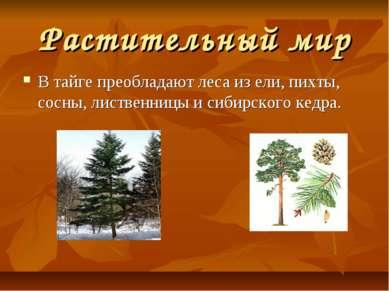Растительный мир В тайге преобладают леса из ели, пихты, сосны, лиственницы и...