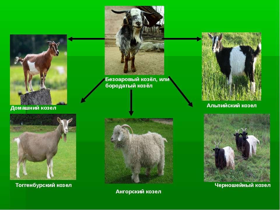 Безоаровый козёл, или бородатый козёл Домашний козел Альпийский козел Тоггенб...