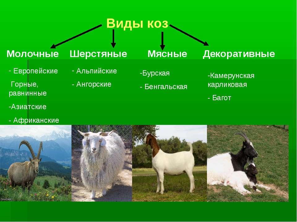 Виды коз Молочные Шерстяные Мясные Декоративные Альпийские - Ангорские Европе...