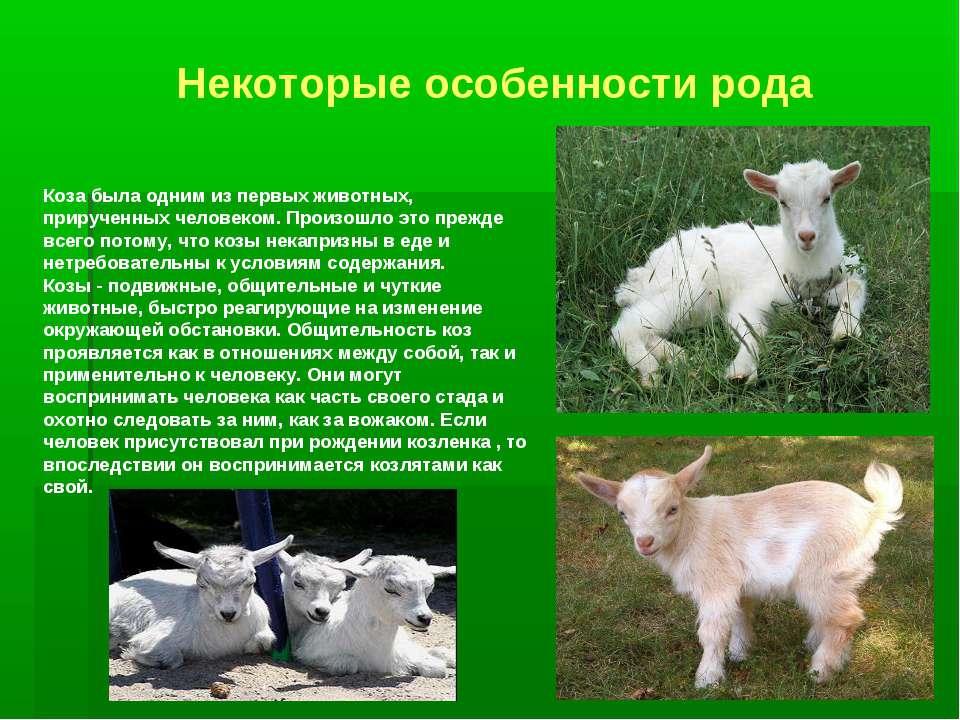 Коза была одним из первых животных, прирученных человеком. Произошло это преж...