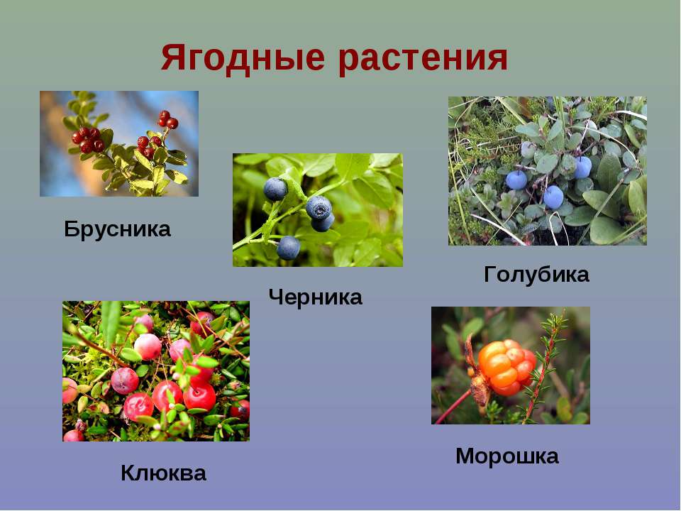 Ягодные растения Брусника Клюква Черника Голубика Морошка