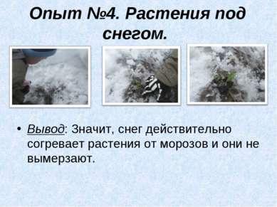 Опыт №4. Растения под снегом. Вывод: Значит, снег действительно согревает рас...