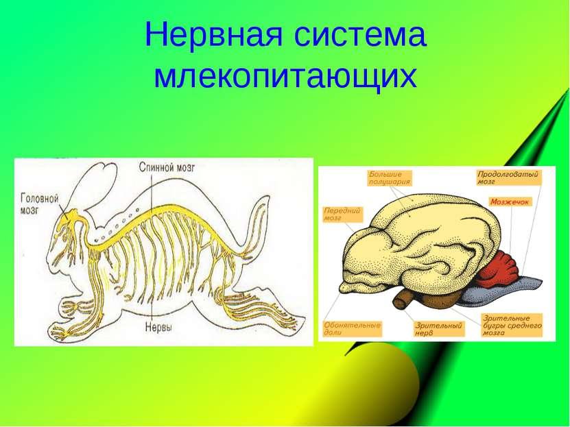 Нервная система млекопитающих