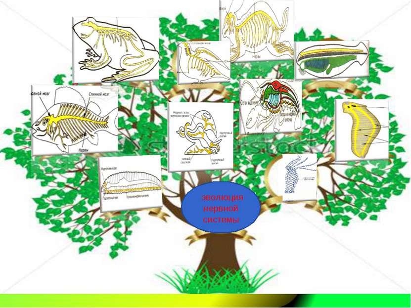 эволюция нервной системы