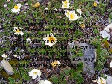 12 Чем растёт карликовая берёза автор:вадим глушков ответ начало