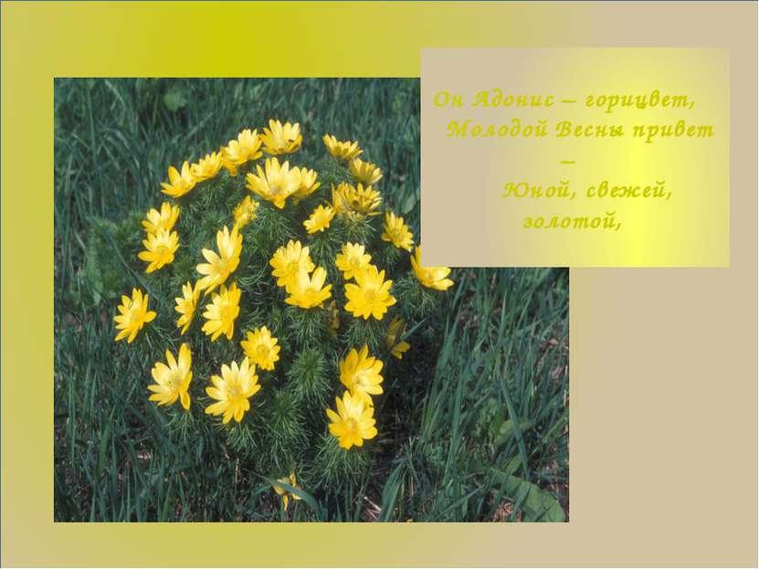 Он Адонис – горицвет, Молодой Весны привет – Юной, свежей, золотой,