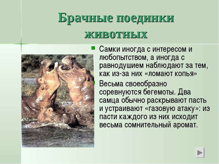 Брачные поединки животных Самки иногда с интересом и любопытством, а иногда с...
