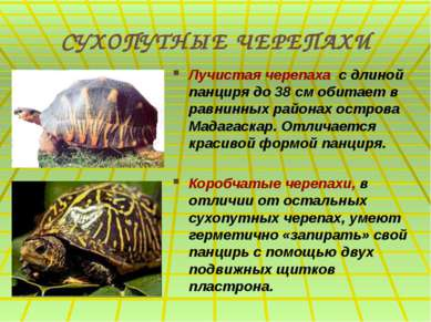 СУХОПУТНЫЕ ЧЕРЕПАХИ Лучистая черепаха с длиной панциря до 38 см обитает в рав...
