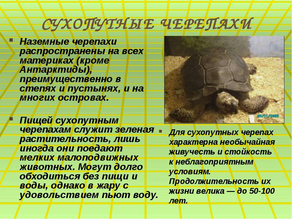 СУХОПУТНЫЕ ЧЕРЕПАХИ Наземные черепахи распространены на всех материках (кроме...