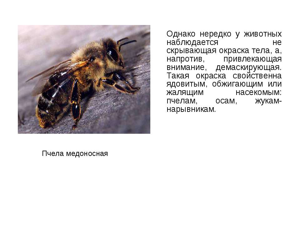 Однако нередко у животных наблюдается не скрывающая окраска тела, а, напротив...