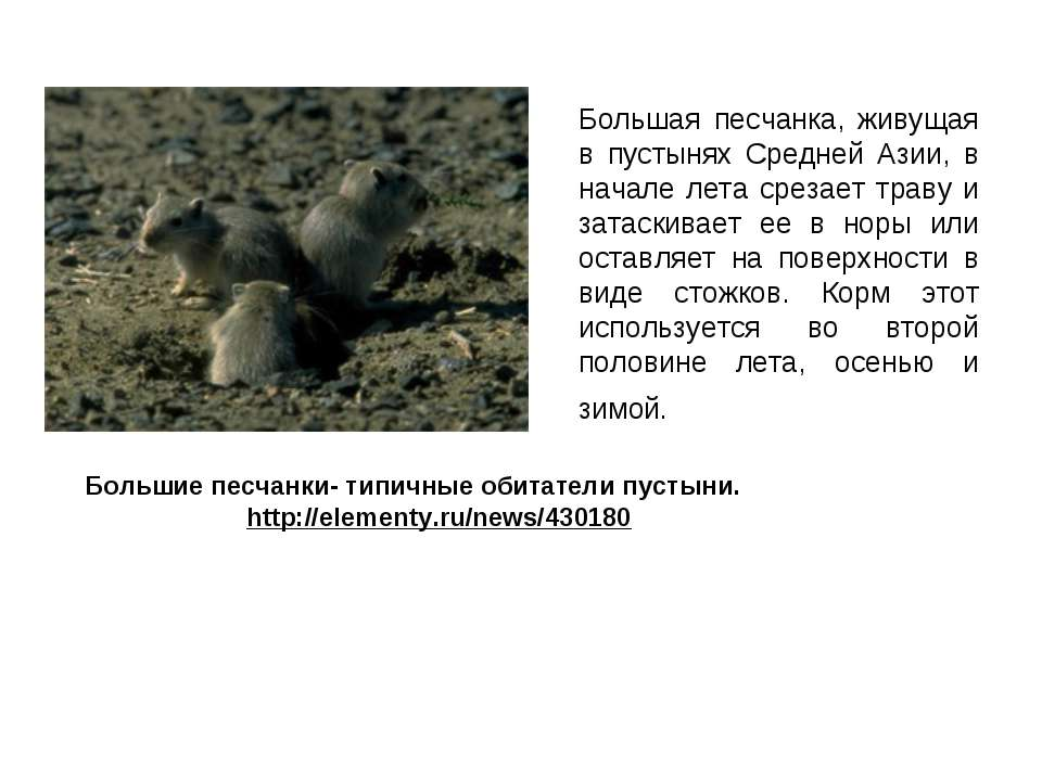 Большая песчанка, живущая в пустынях Средней Азии, в начале лета срезает трав...