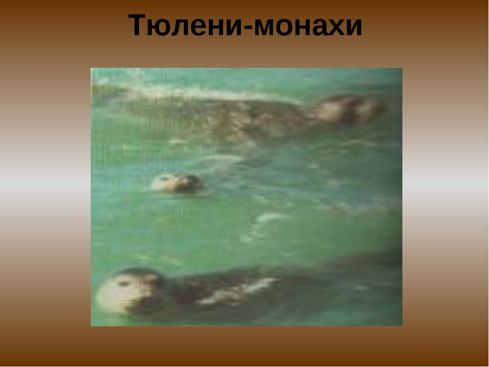 Тюлени-монахи