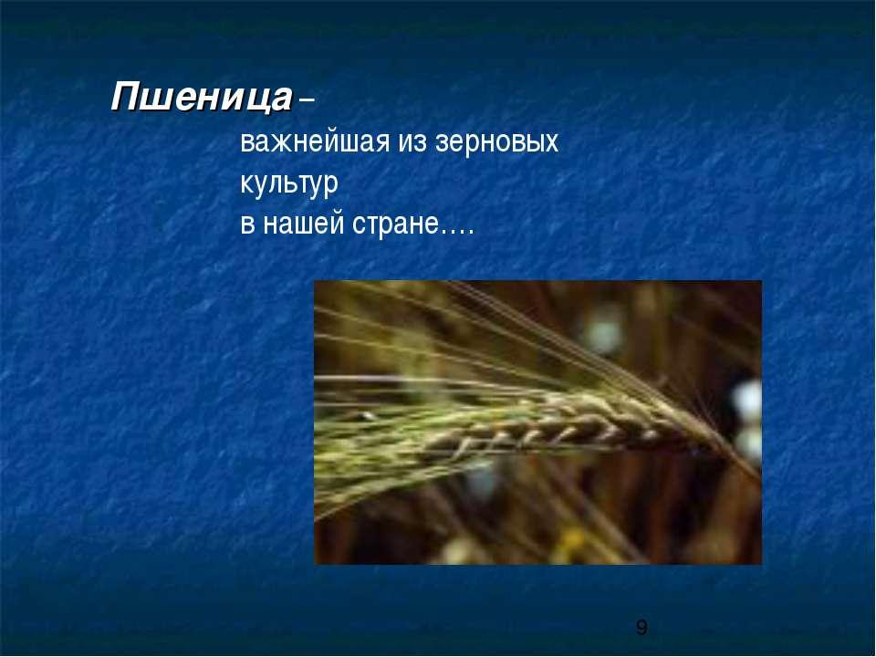 Пшеница – важнейшая из зерновых культур в нашей стране….