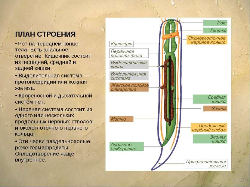 ПЛАН СТРОЕНИЯ Рот на переднем конце тела. Есть анальное отверстие. Кишечник с...