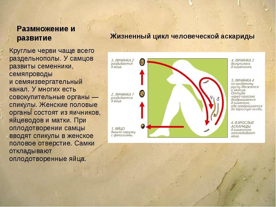 Размножение и развитие Круглые черви чаще всего раздельнополы. У самцов разви...