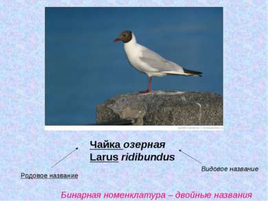 Чайка озерная Larus ridibundus Родовое название Видовое название Бинарная ном...