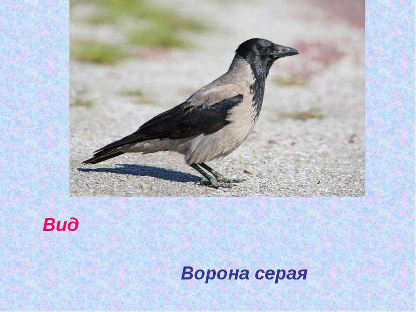 Вид Ворона серая