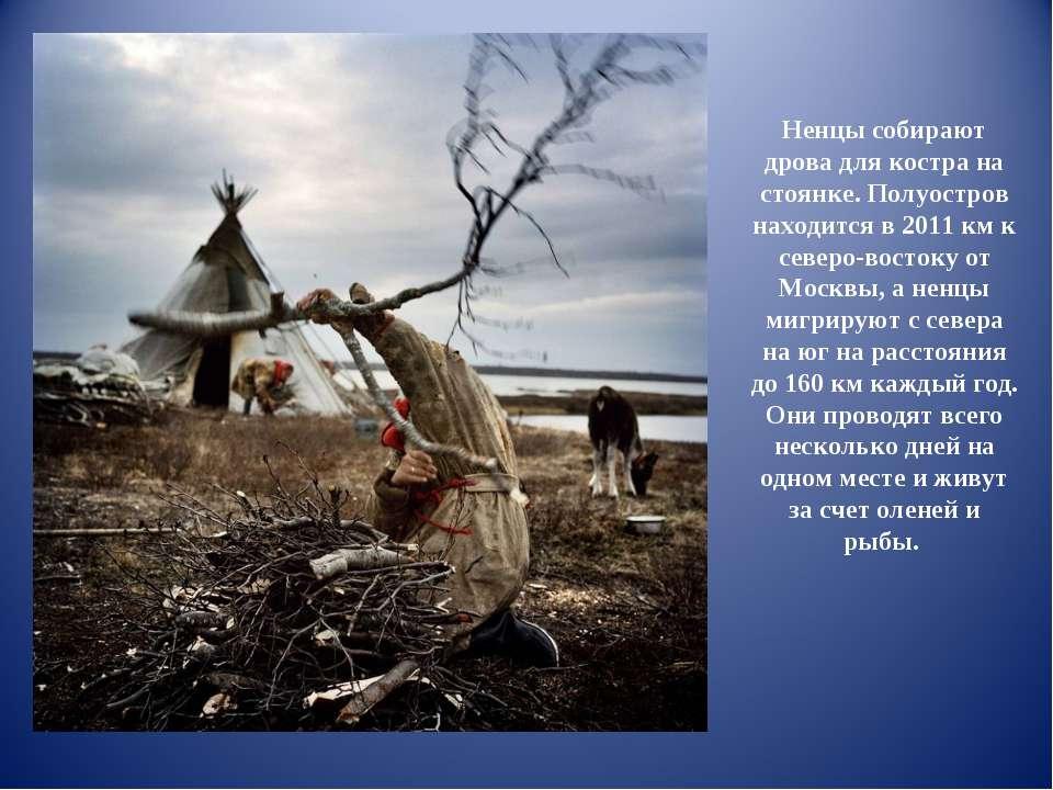 Ненцы собирают дрова для костра на стоянке. Полуостров находится в 2011 км к ...