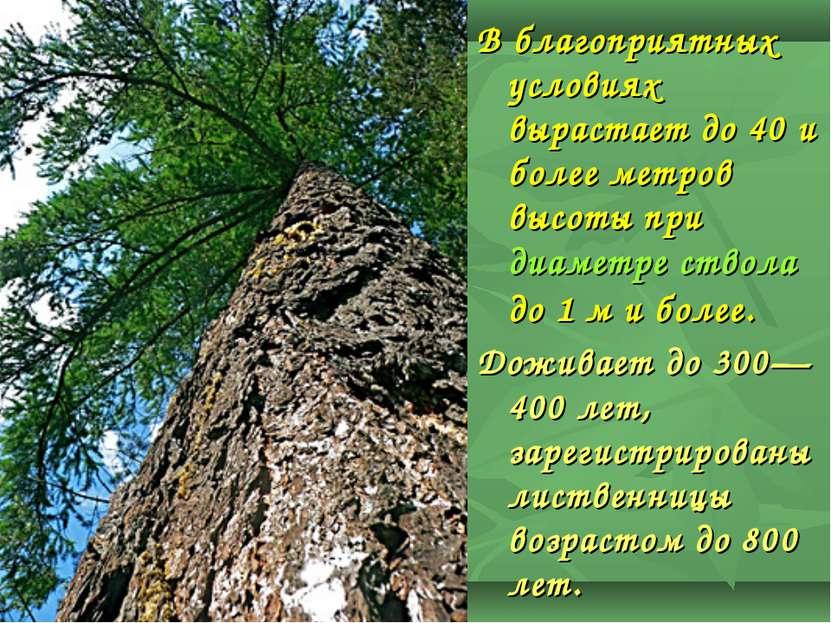 В благоприятных условиях вырастает до 40 и более метров высоты при диаметре с...