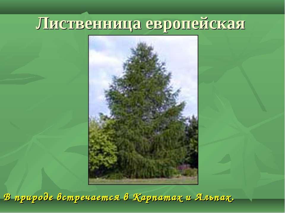 Лиственница европейская В природе встречается в Карпатах и Альпах.