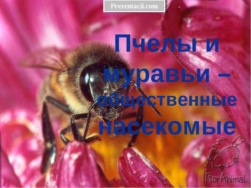 Пчелы и муравьи – общественные насекомые Prezentacii.com