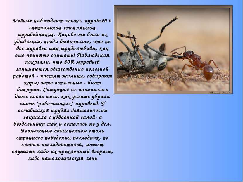 Учёные наблюдают жизнь муравьёв в специальных стеклянных муравейниках. Како...