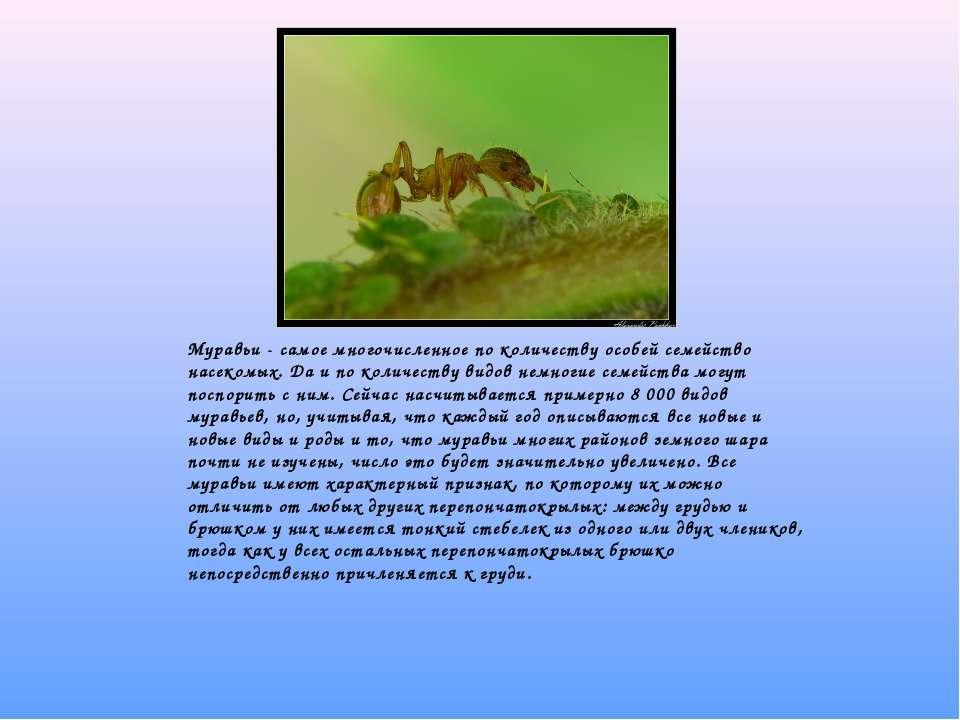 Муравьи - самое многочисленное по количеству особей семейство насекомых. Да...