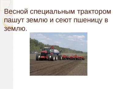 Весной специальным трактором пашут землю и сеют пшеницу в землю.