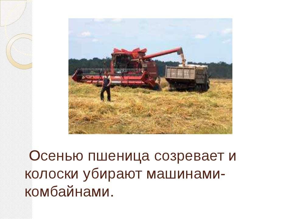 Осенью пшеница созревает и колоски убирают машинами- комбайнами.