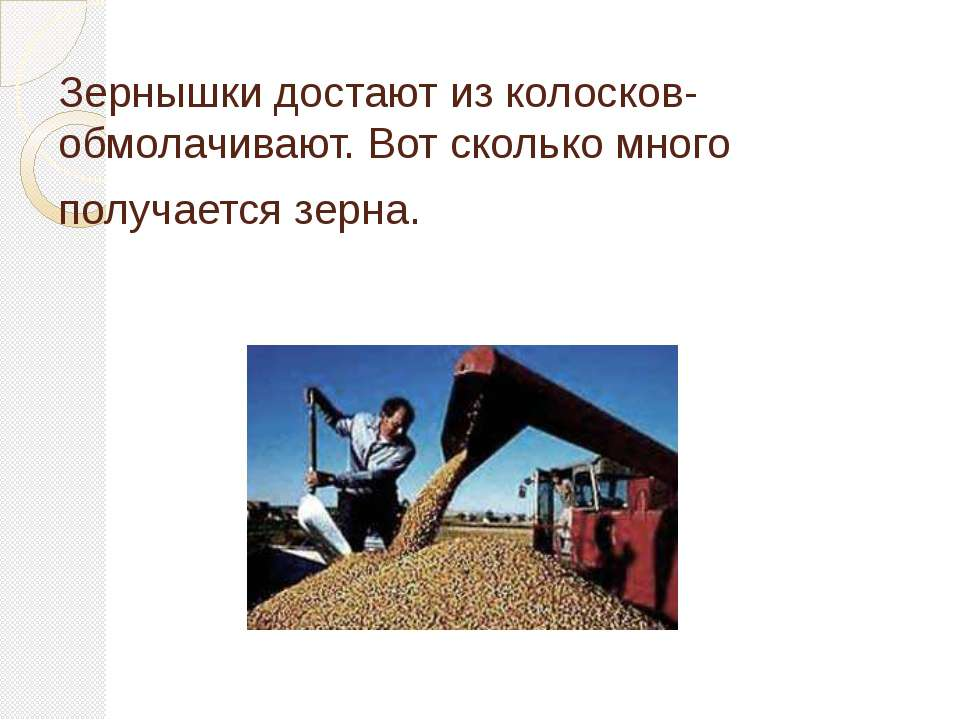 Зернышки достают из колосков- обмолачивают. Вот сколько много получается зерна.