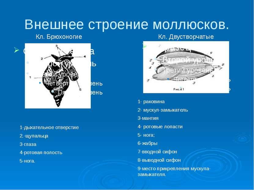Внешнее строение моллюсков. 1-дыхательное отверстие 2.-щупальца 3-глаза 4-рот...