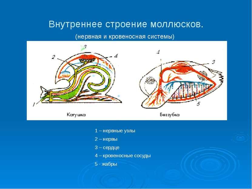 Внутреннее строение моллюсков. (нервная и кровеносная системы) 1 – нервные уз...