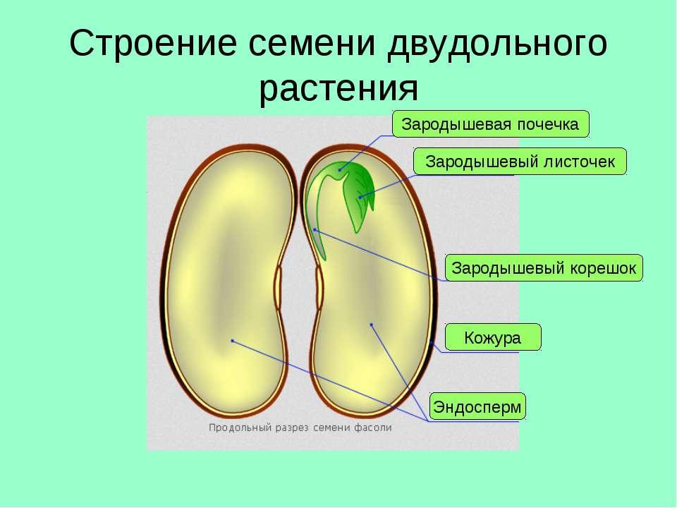 Строение семени двудольного растения Кожура Эндосперм Зародышевый корешок Зар...