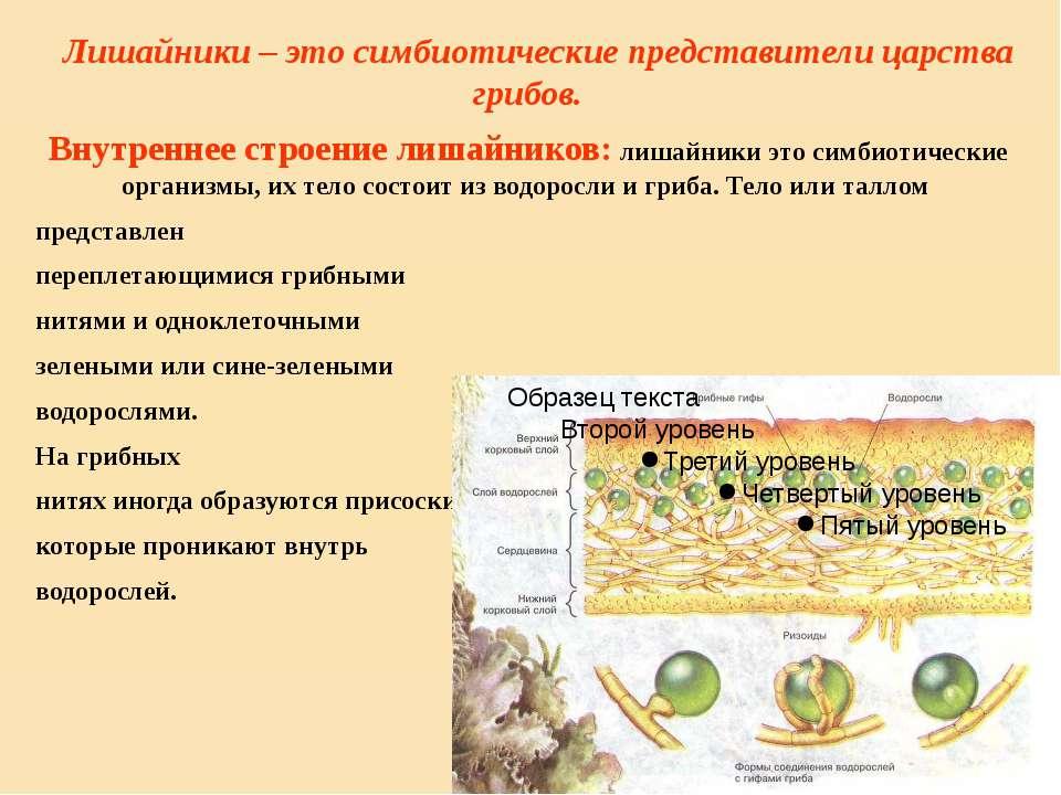 Лишайники – это симбиотические представители царства грибов. Внутреннее строе...
