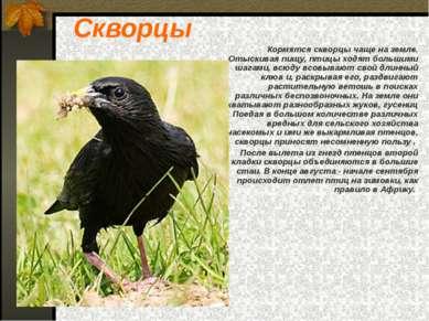 Скворцы Кормятся скворцы чаще на земле. Отыскивая пищу, птицы ходят большими ...