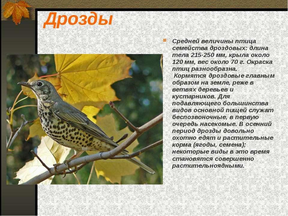 Дрозды Средней величины птица семейства дроздовых: длина тела 215-250 мм, кры...