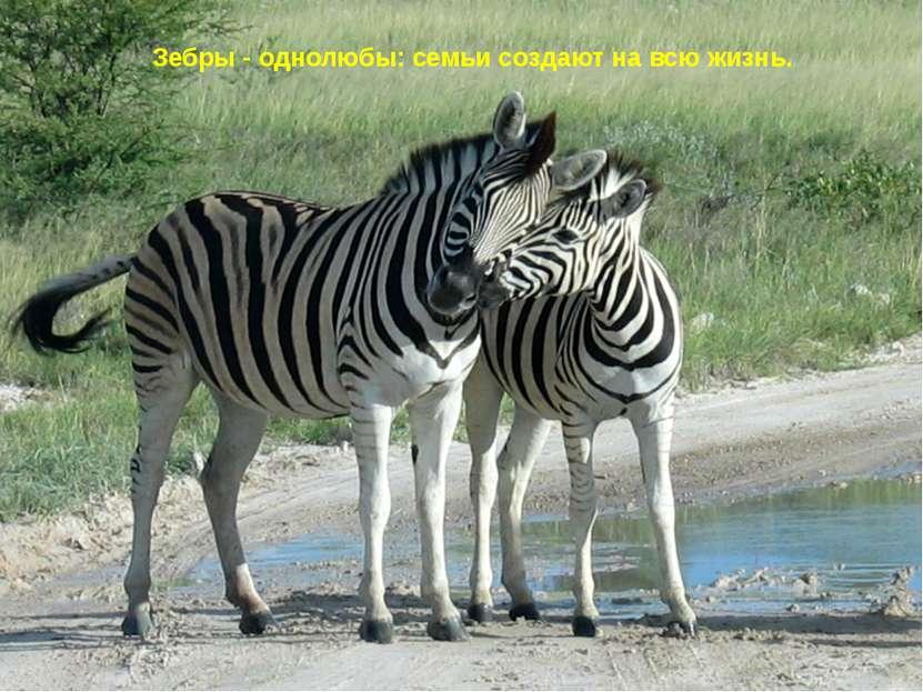 Зебры - однолюбы: семьи создают на всю жизнь.